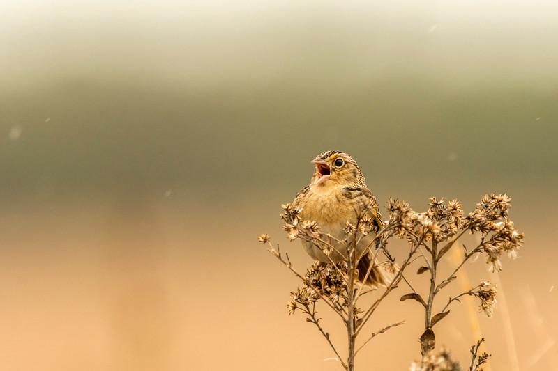 Calling Grasshopper Sparrow
