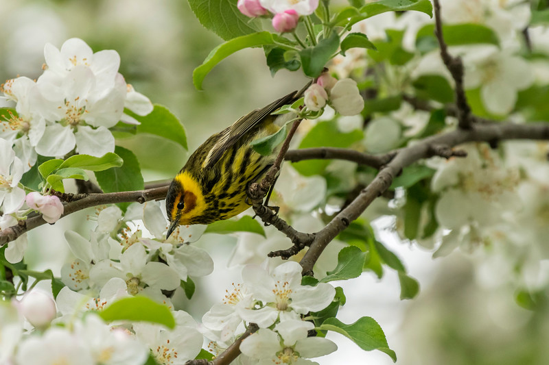 Male Cape May Warbler checking out Apple Blossoms