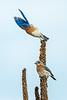 Male Bluebird leaving the perch