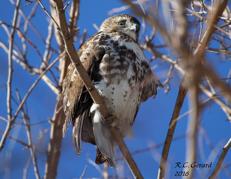 Juvenile Red Tail Hawk 2-14-16