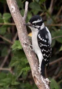 Downy Woodpecker_Ventura_CA-2885