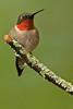 APR-11070:  Male Ruby-throated Hummingbird on perch