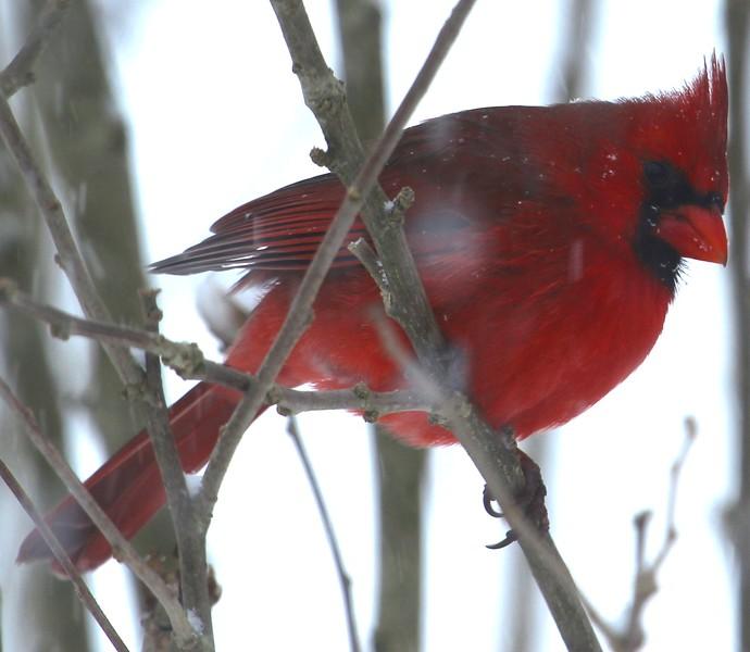 Cardinal - Jan. 2016