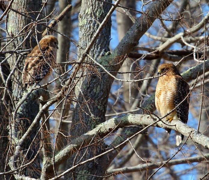 Pair of Red Shouldered Hawks 2-27-2016