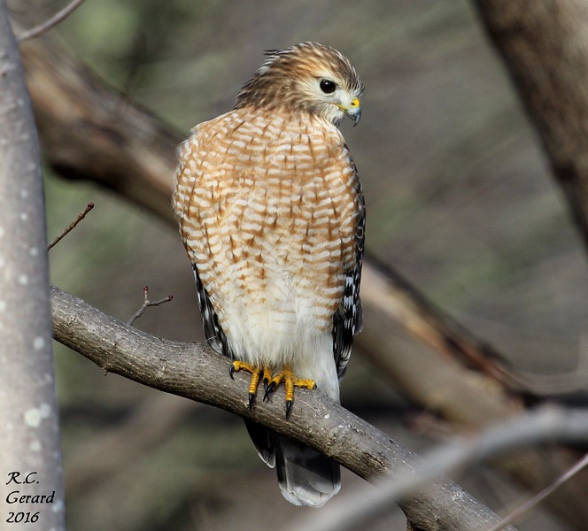 Red Shouldered Hawk - 2016