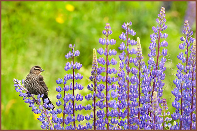 Black Bird sitting on the lupine