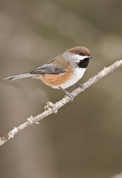 APR-9093: Boreal Chickadee on perch ( Parus hudsonicus)