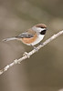 APR-9093: Boreal Chickadee on perch ( Parus hudsonicus)