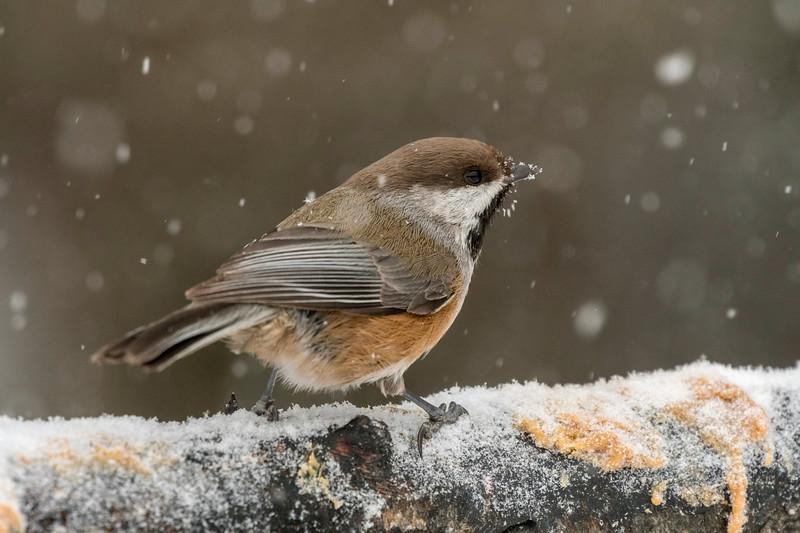 Boreal Chickadee in falling snow