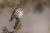 APR-11062: Pine Siskin (Carduelis pinus)