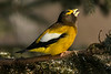 Evening Grosbeak in conversation