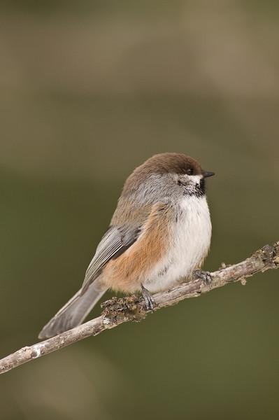 APR-9228: Boreal Chickadee (Parus hudsonicus)