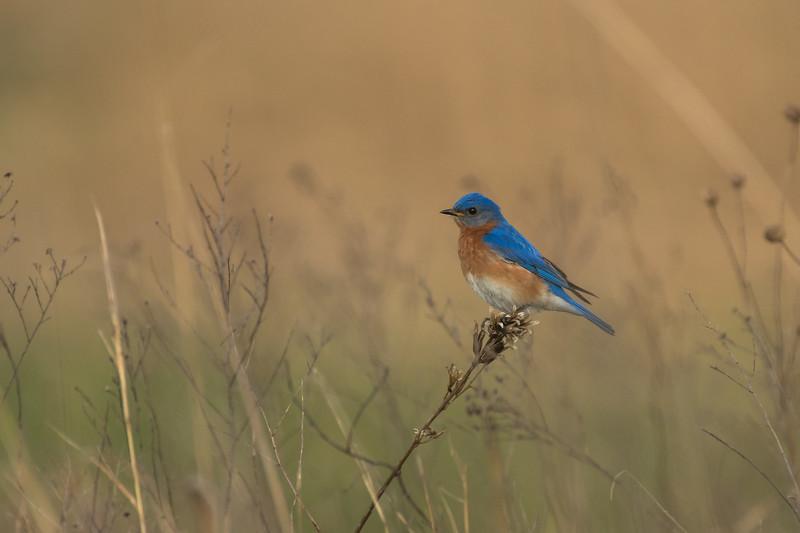Eastern Bluebird on perch