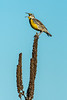 Meadowlark on mullein