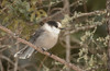 Gray Jay at Sax-Zim bog