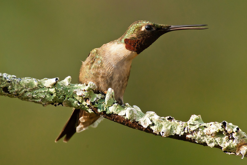 APR-11075: Ruby-throated Hummingbird