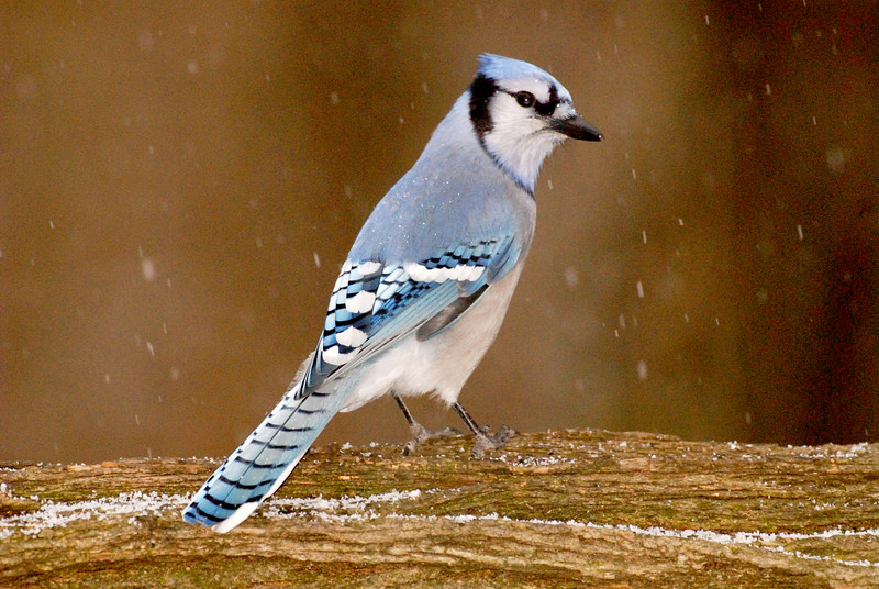 6152-Bluejay in first snow (Cyanocitta cristata)