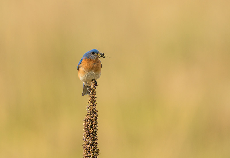 Male Eastern Bluebird with lunch