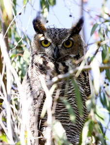 Great-horned Owl_9-14-2013_Ventura_CA-2805