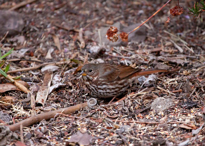 Red Fox Sparrow_Ventura_VenCo_CA-16 Nov 2012--8348