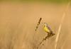 Eastern Meadowlark in prairie grasses