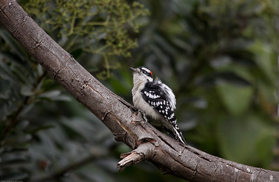 Downy Woodpecker_Ventura_CA-2957