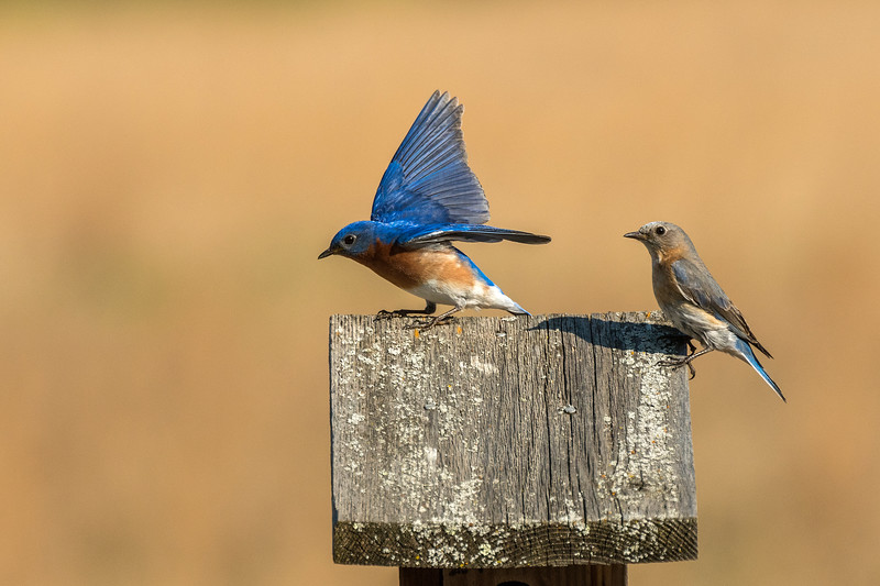 Bluebirds on nest box