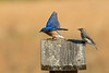 Bluebirds on nest box