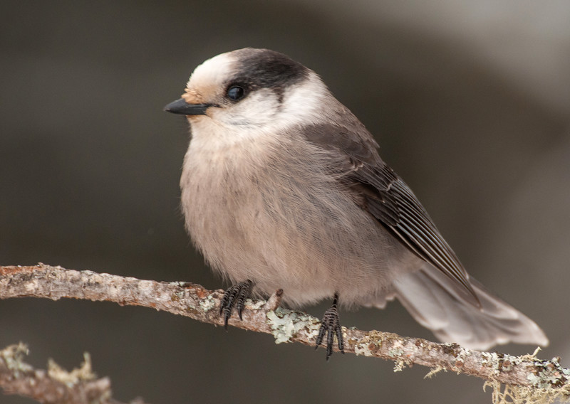 Gray Jay on perch