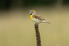 Calling male Dickcissel