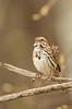 Calling Song sparrow