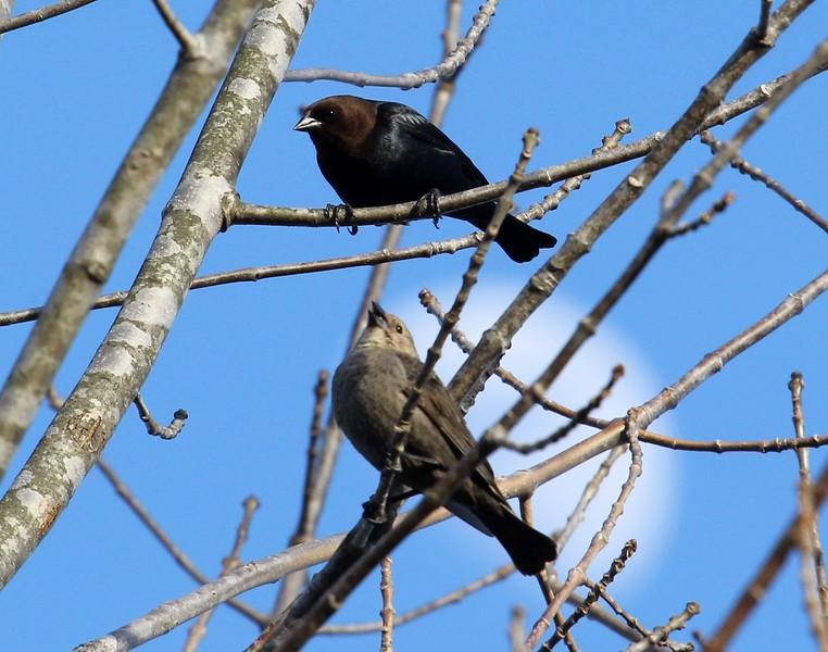 Brown-Headed Cowbirds