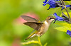 Ruby-throated Hummingbird on Salvia