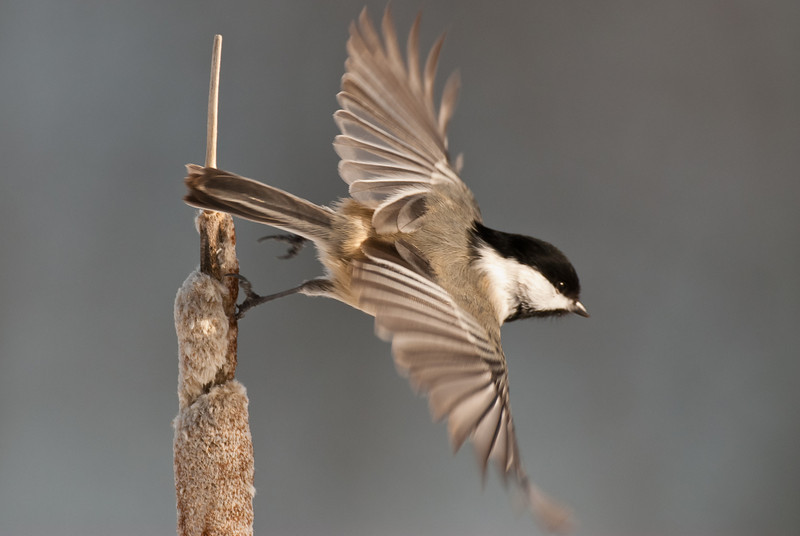 APR-10104: Black-capped Chickadee take-off (Parus atricapillus)