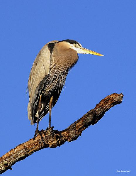 Great Blue Heron, November 2004