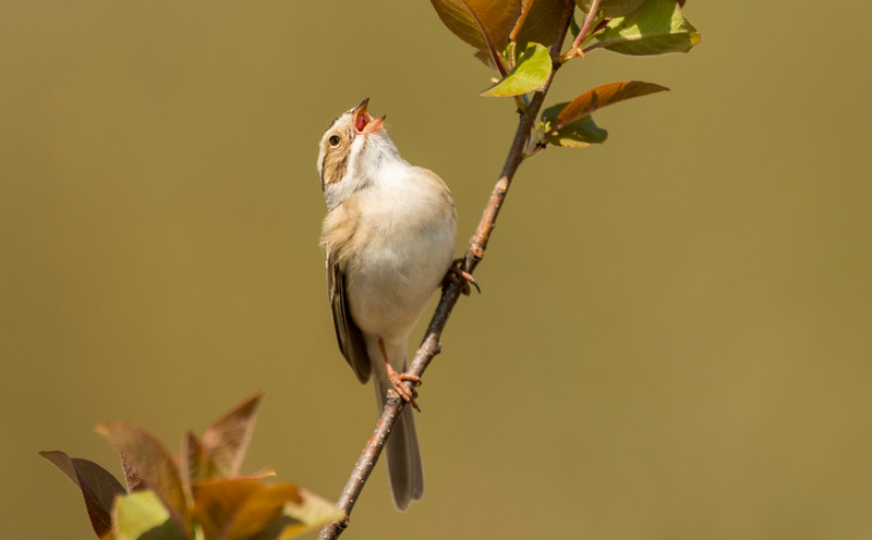 Clay-colored Sparrow singing