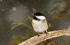 Black-capped Chickadee in falling snow