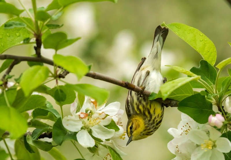 Female Cape May Warbler looking for nectar