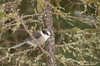 Gray Jay in Spruce tree