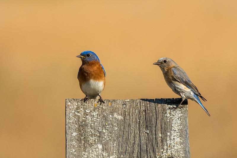 Bluebirds setting up housekeeping