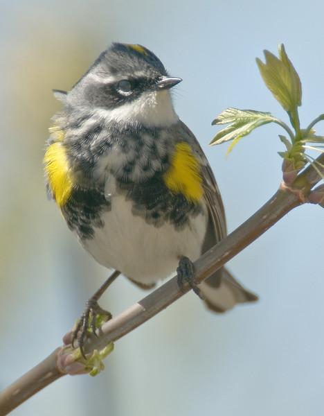 APR-9225: Yellow-rumped Warbler (Denroica coronata)