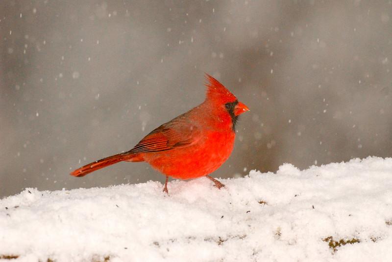 APR-6134: Male Northern Cardinal in winter storm (Cardinalis cardinalis)