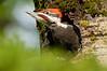APR-12052: Male Pileated nestling (Dryocopus pileatus)
