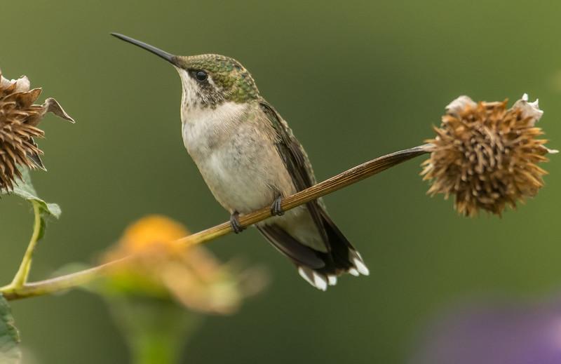 Female Ruby-throated Hummingbird on perch