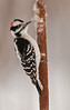 APR-10069: Male Downy Woodpecker on cattail ( picoides pubescens)