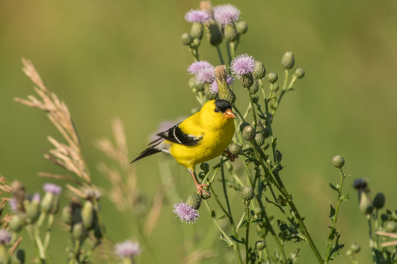 Male Goldfinch on field thistle