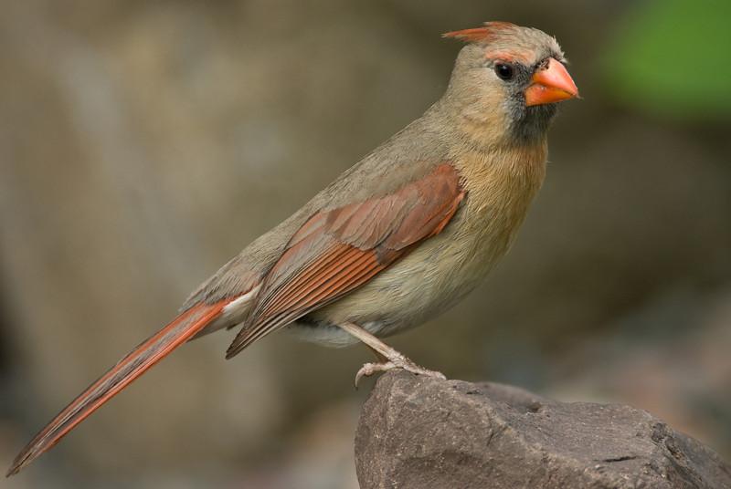 APR-6024: Female Northern Cardinal (Cardinalis cardinalis)
