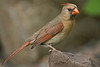 APR-6024: Female Northern Cardinal (Cardinalis cardinalis)