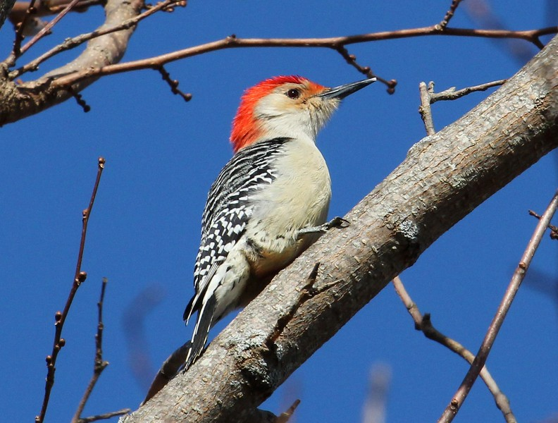 Red Bellied Woodpecker 2-27-2016