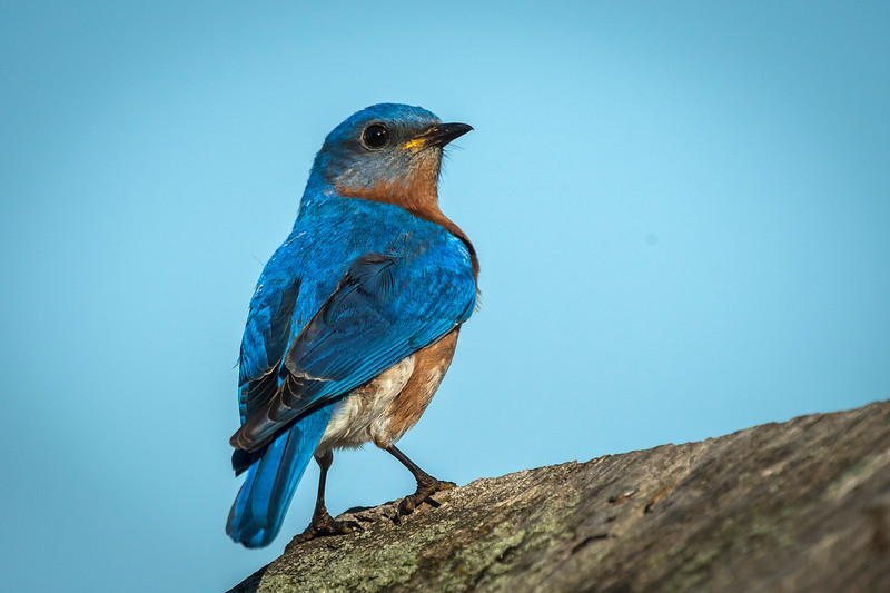 Male Bluebird on nest box
